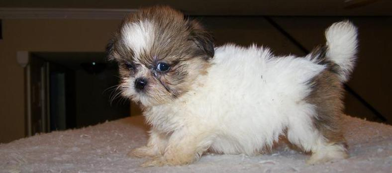Teacup Imperial Shih Tzu Puppies